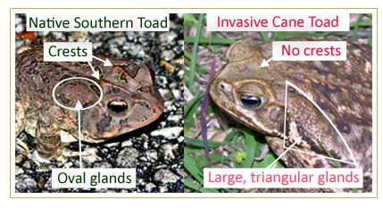 Do Dogs Eat Cane Toads