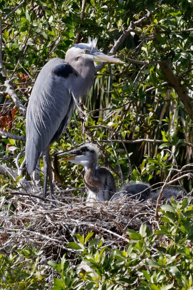 Macias Great Blue Heron 12.2017